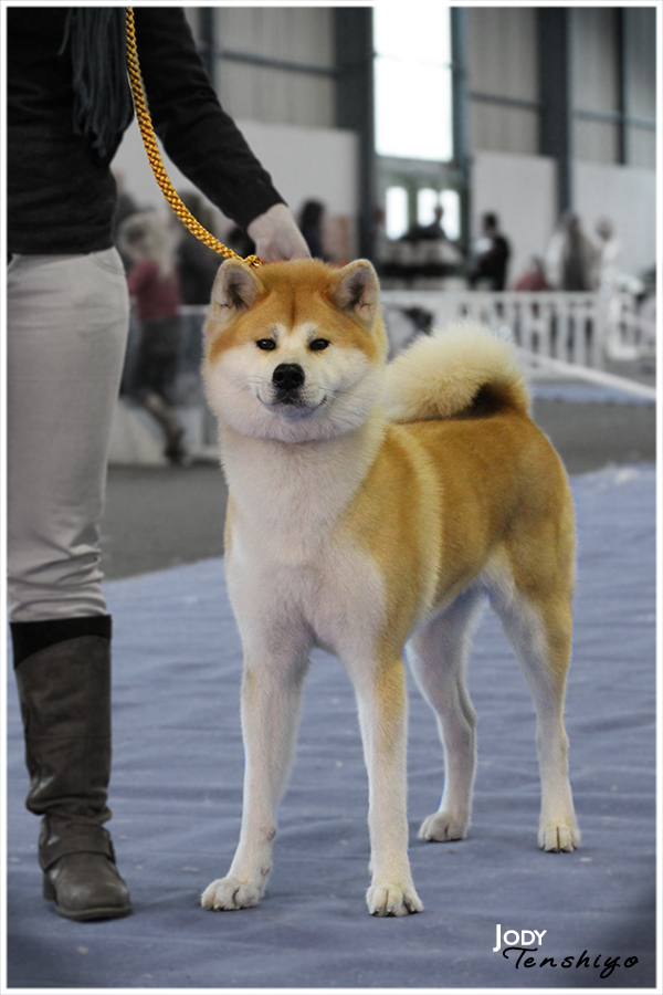 akita-inu-roux-femelle
