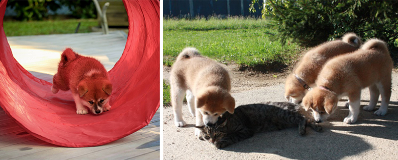elevage-akita-inu-alsace-chiots-socialisation-chat-tunnel