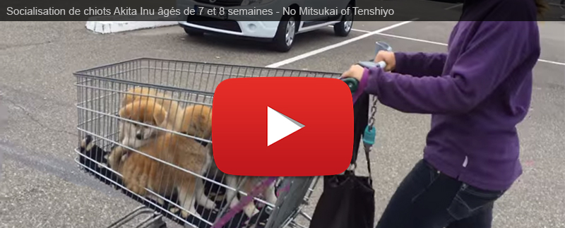 elevage-akita-inu-alsace-chiots-socialisation-ville-video