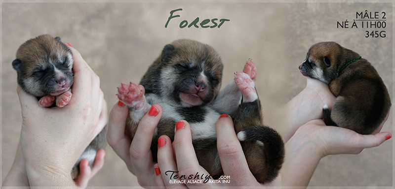 forest-akita-inu-naissance-alsace
