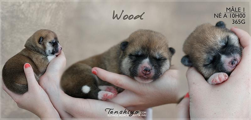 wood-akita-inu-naissance-alsace