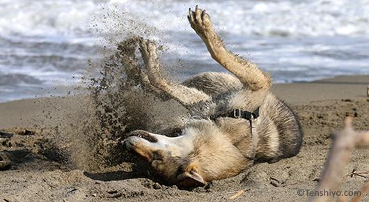 saarloos-chien-loup-plage-ikue