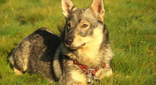 västgö-chien-primitif