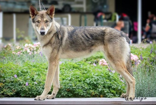 exposition-canine-hoert-67-saarloos