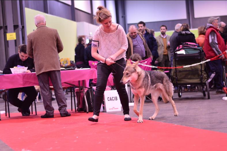 saarloos-exposition-canine
