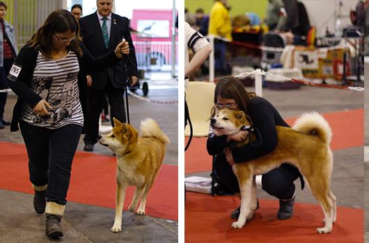 misaki-akita-exposition-canine