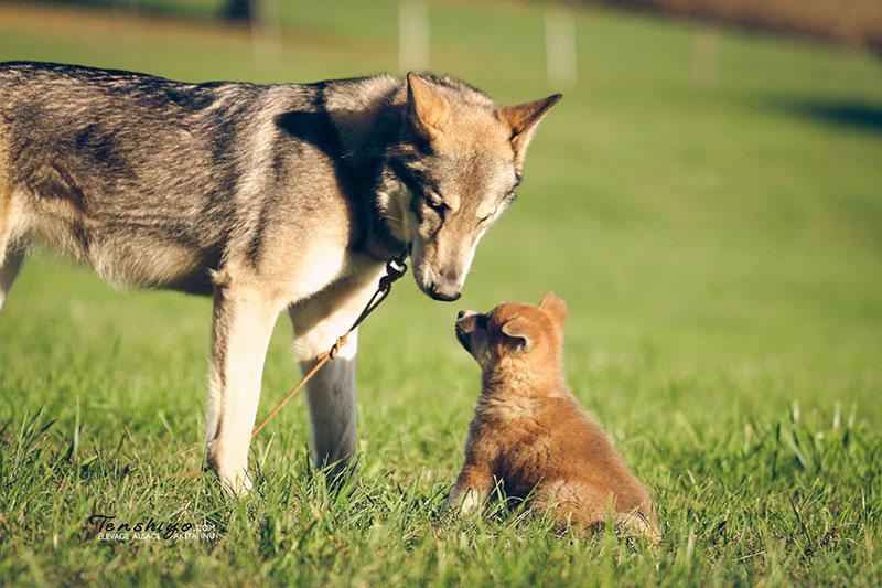 chien-loup-saarloos