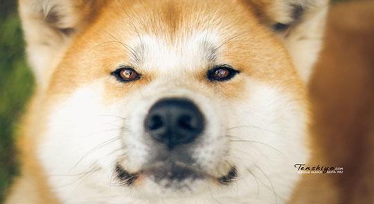 la taille de votre appartement ne compte pas pour votre chien akita inu levage alsace. Black Bedroom Furniture Sets. Home Design Ideas