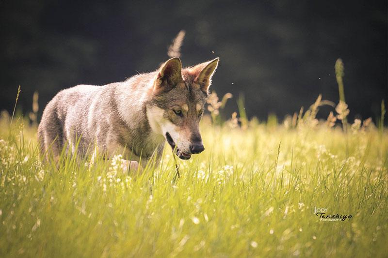 chien-loup-saarloos-mue-ikue