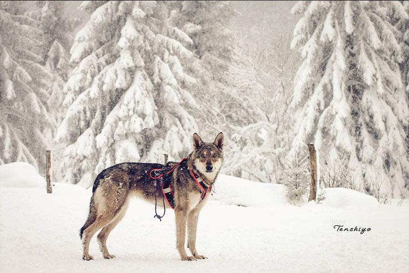 chien-loup-saarloos-neige