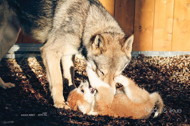 nobukuse-ikue-chien-loup-saarloos