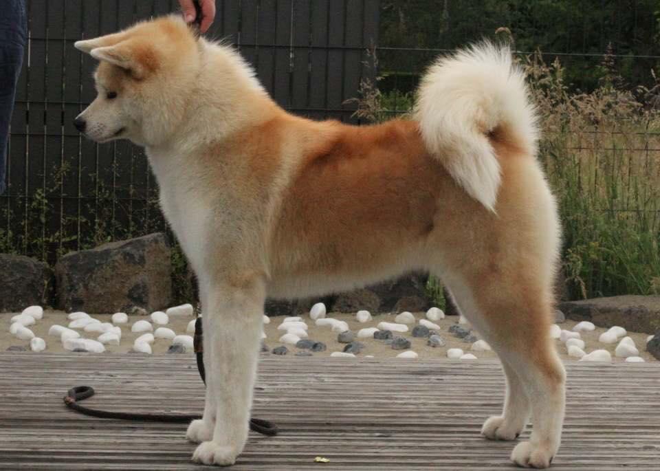 KARA-femelle-rousse-exposition-canine