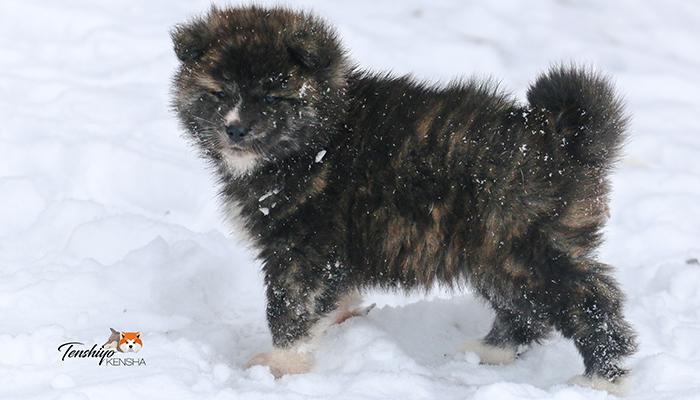 okada-neige-chiot-bringe-fourrure-isole-isolant-froid