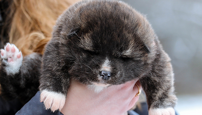 okiko-petite-taupe-ours-chiot-akita