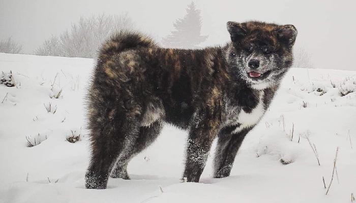 oshio-neige-akita