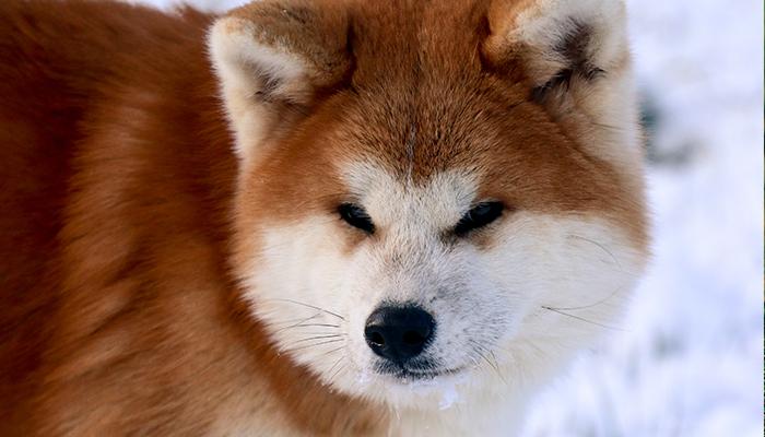 takeo-portrait-renard-neige-rouge
