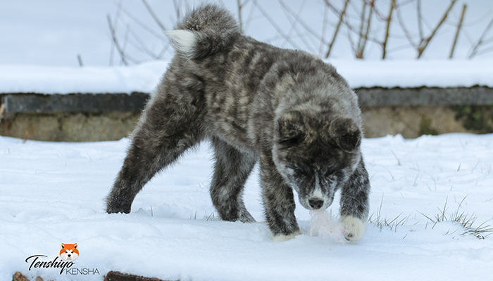 waka-neige-tigre