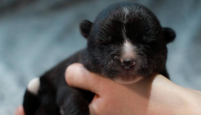 yoke-noir-chiot-naissance