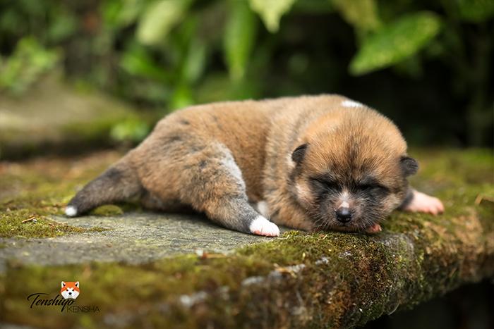kaeko-1-semaine-femelle-rousse