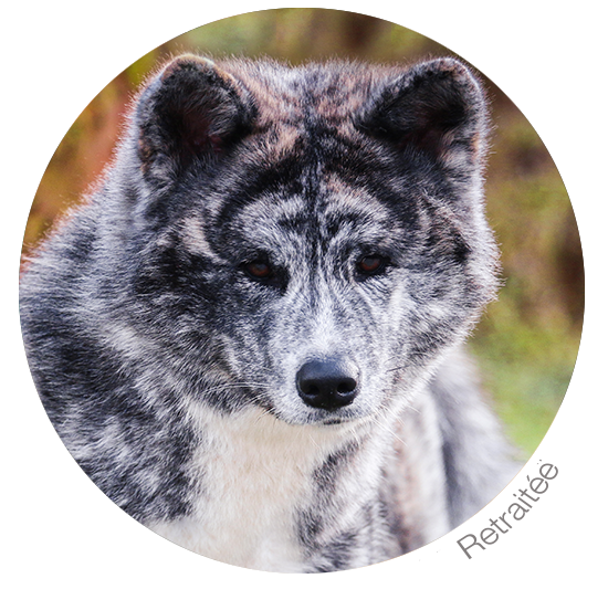 yasuko-suisse-jura-bringee-gris-roux-chiots-lyon