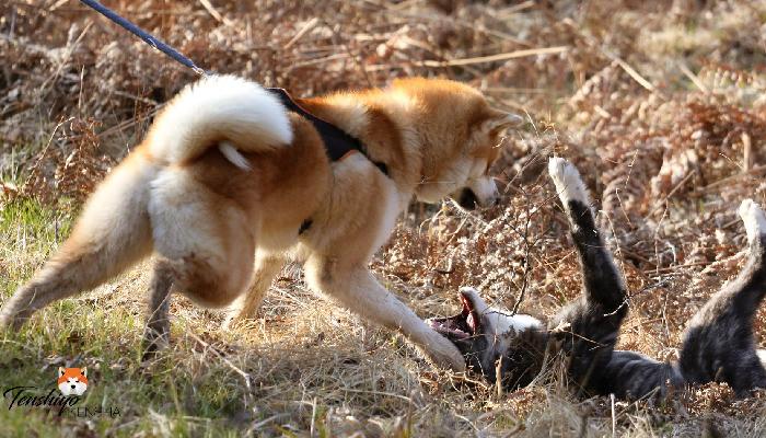 mineko-bagarre-chasse