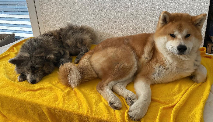 mitsuaki-canape-deux-chiens