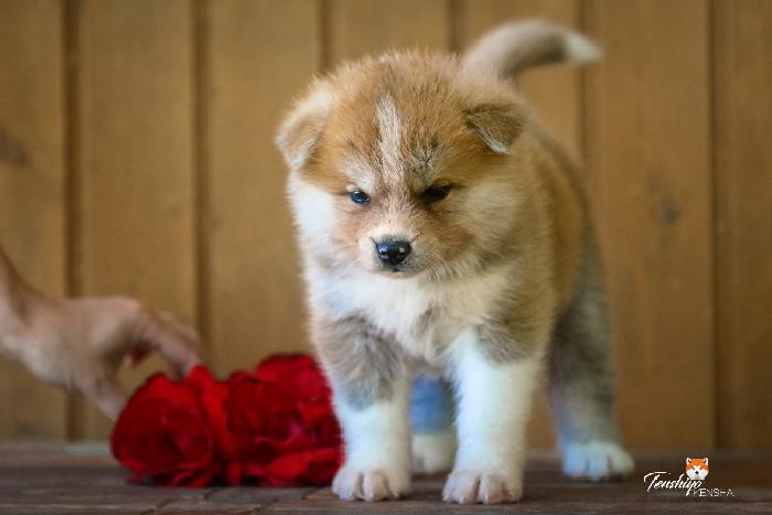 chikiyu-5-semaines-rose-shokou