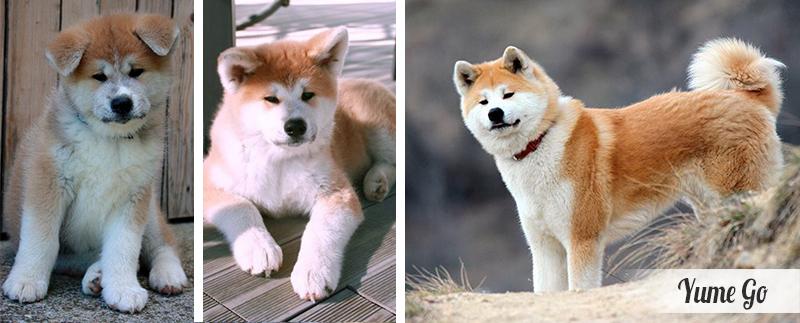 yume-chiot-akita-inu-evolution
