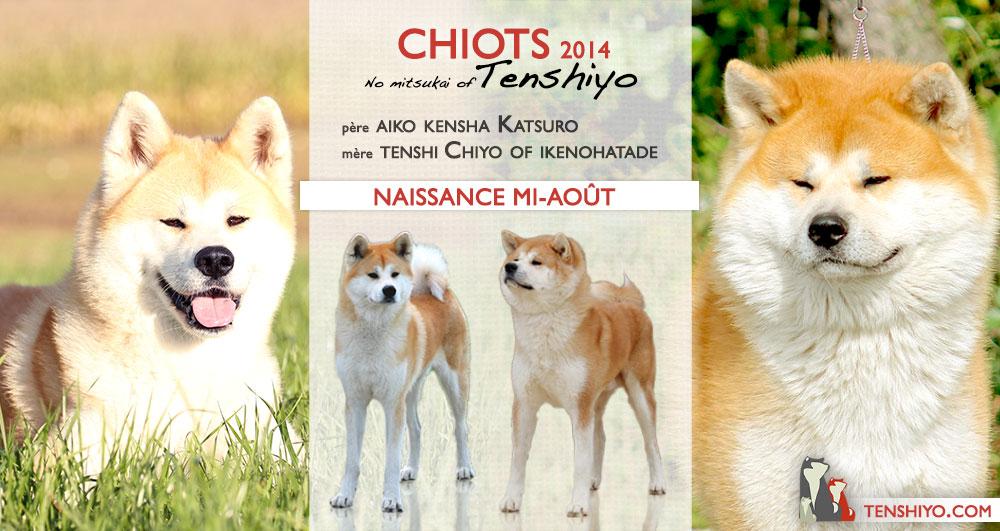alsace-elevage-saillie-2014-chiots-akita-inu