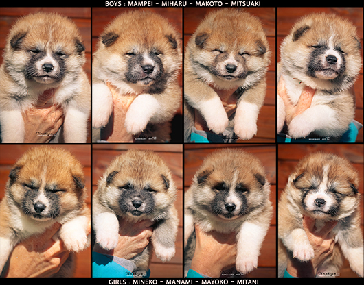 chiot-akita-inu-disponible-roux-male-femelle-poil-long