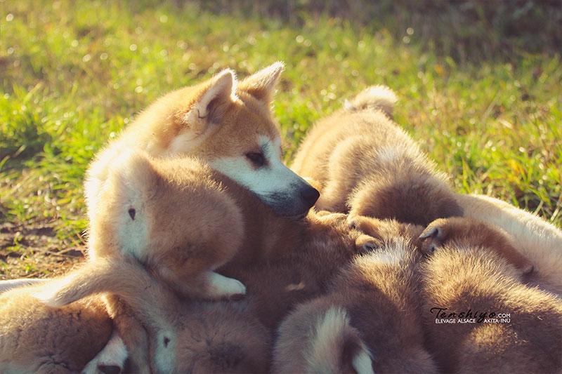 mere-chiots-akita-instinct-maternel