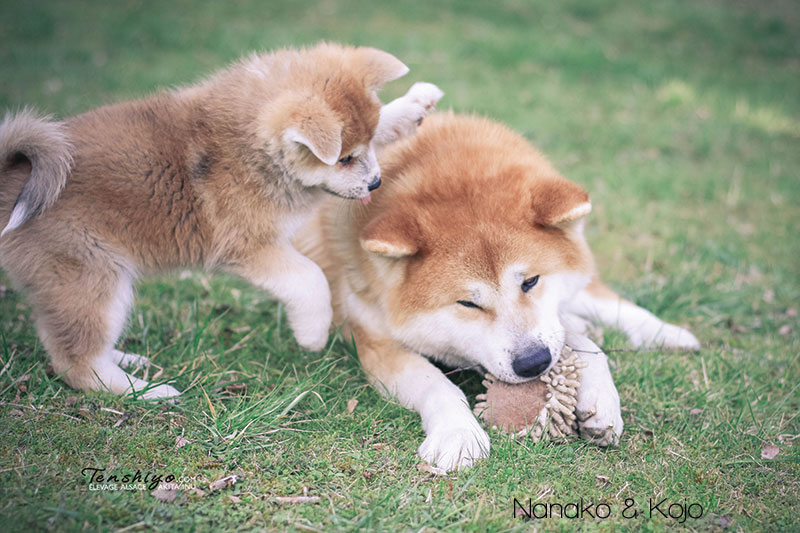 nanako-kojo-chiot-adulte-difference