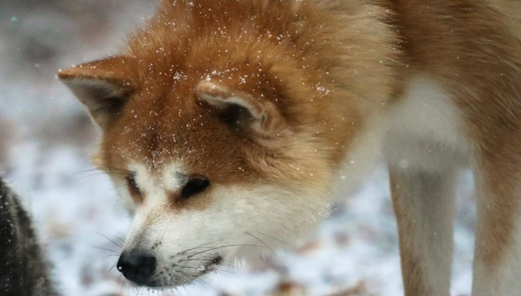 daiu-akita-neige-pickpocket-renard