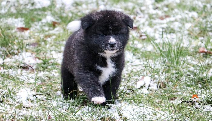 ioto-neige-promenade-chiot