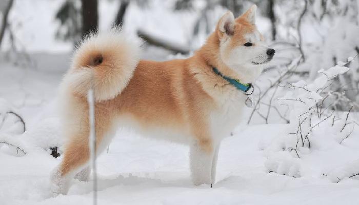 miwako-neige-chiot