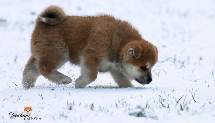 ohatsu-neige-marche-randonnee-chiot