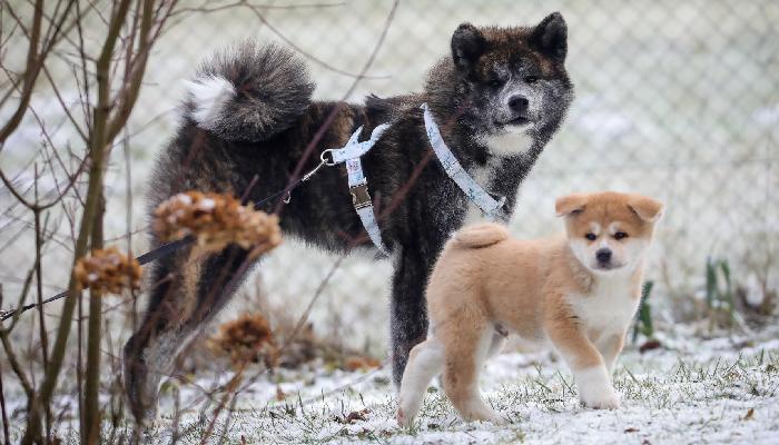 okashii-evolution-chiot-adulte-deuxieme-chien