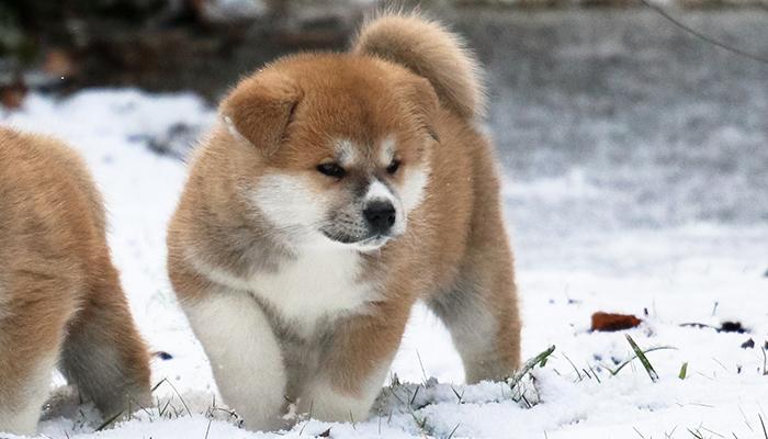 okawari-noel-sapin-cadeau-chiot-neige