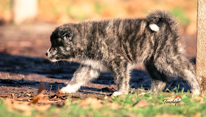 waka-grise-bringe-tigre