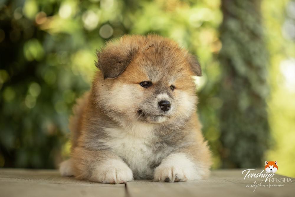 shinobu-femelle-poil-long-7-semaines